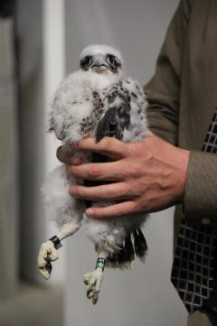 Image of The lone chick at 101 Hudson Street displays its new leg bands.