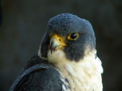 Image of An adult Peregrine falcon.