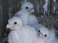 Image of Two week old peregrine nestlings at a nest site in Stone Habor, New Jersey.