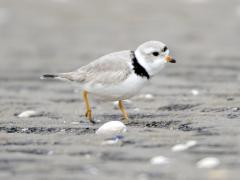 Image of A Piping plover.