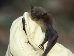 Image of A little brown bat, during a fall banding survey in northern NJ.