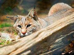 Image of A Bobcat carefully watches its prey before pouncing.