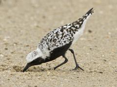 Image of A black-bellied plover.