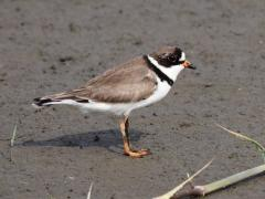 Image of Semipalmated plover.