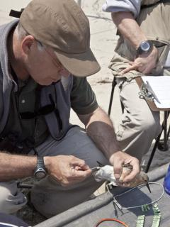 Image of Larry Niles reads the number on a red knot's metal identification band.