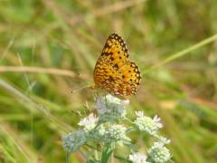 Image of A Silver-bordered fritillary butterfly.
