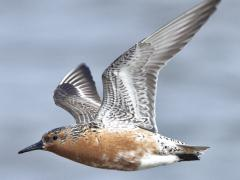 Image of Red knot in full breeding plumage on Delaware Bay.