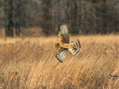 Image of A female Northern harrier flies low over the marsh in search of prey.