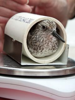 Image of A small piece of pipe is used to hold a sanderling while it is being weighed.
