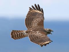 Image of A Red-shouldered hawk in flight.