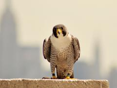 Image of The male peregrine falcon that nests atop 101 Hudson St. in Jersey City.