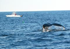 Image of A Humpback Whale begins its dive down from the surface.