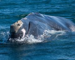 Image of A North Atlantic right whale. One of only four hundred individuals in the entire world.