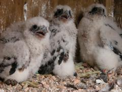 Image of Three peregrine falcons nestlings await being banded by biologists at Jersey City.