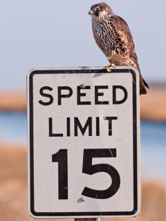 Image of A juvenile peregrine falcon, the world's fastest animal, perched on a speed limit sign at Edwin B. Forsythe NWR in Oceanville.
