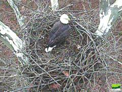 Image of An eagle is spotted on the nest.