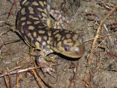 Image of Eastern Tiger Salamander