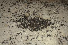 Image of Guano (bat droppings) below a favorite roosting spot in a house attic. Droppings are less than a half-inch long and contain the shiny wing & exoskeletal remains of insects.