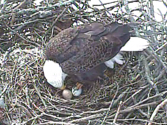 Image of The second egg was laid on Feb. 20th in the mid-late afternoon.