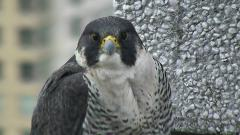 Image of Falcon cam - female