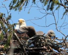 Image of Four week old chick with pin feathers emerging from wings at Shark River nest. April 13, 2014