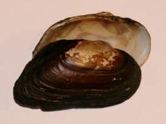 Image of A Dwarf wedgemussel shell.