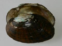 Image of The shell of a Triangle floater.