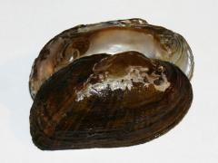 Image of Brook floater shell.