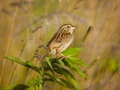 Image of Henslow's sparrow.
