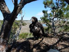 Image of The male bald eagle nestling in its nest near Port Republic.