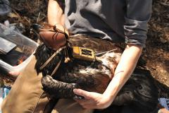 Image of Juvenile male bald eagle (D/95) with GPS transmiter being attached.