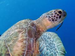 Image of Atlantic green turtle.