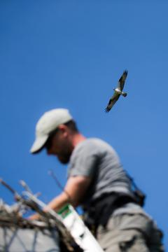Image of Ben Wurst surveys a nest on Barnegat Bay while an adult ospreys watches overhead.