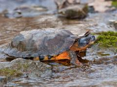 Image of Wood turtle.