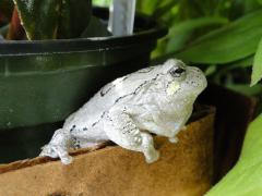 Image of Northern Gray Treefrog @ M. Patterson