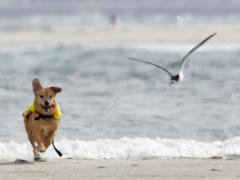 Image of A major threat to beach nesting birds during the summer are loose dogs. When birds are disturbed their young become vulerable to predation.