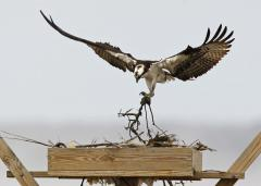 "Image of An osprey ""spruces up"" its nest in the early spring at Edwin B. Forsythe NWR."
