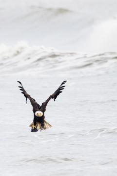 Image of An adult bald eagles with prey off Holgate, LBI.