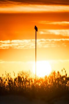 Image of A bald eagle perched as the sun sets along the New Jersey shore.