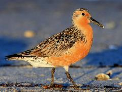 Image of A red knot in breeding plumage along the Delaware Bay.