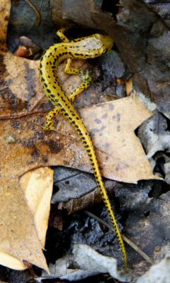 Image of Long-tailed salamander