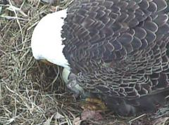 Image of 3/27/15 chick has hatched