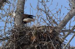 Image of 4/6/15 C/94 with chick in CT nest @Cyndi Pratt Didan