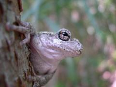 Image of Cope's gray treefrog
