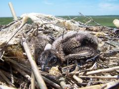 Image of 7-10 day old ospreys playing dead.
