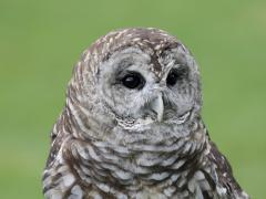 Image of Barred owl.
