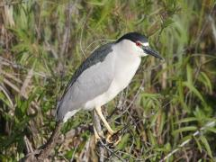 Image of Black-crowned night heron.