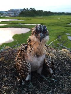 Image of An osprey nestling is banded (76/C) with a red auxiliary band at a nest behind the Long Beach Island Foundation of Arts and Sciences. So far we have deployed 30 red bands in 2015.