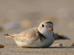 Image of A female Piping Plover