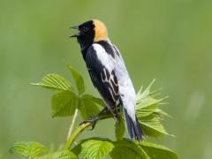 Image of A male Bobolink sings.